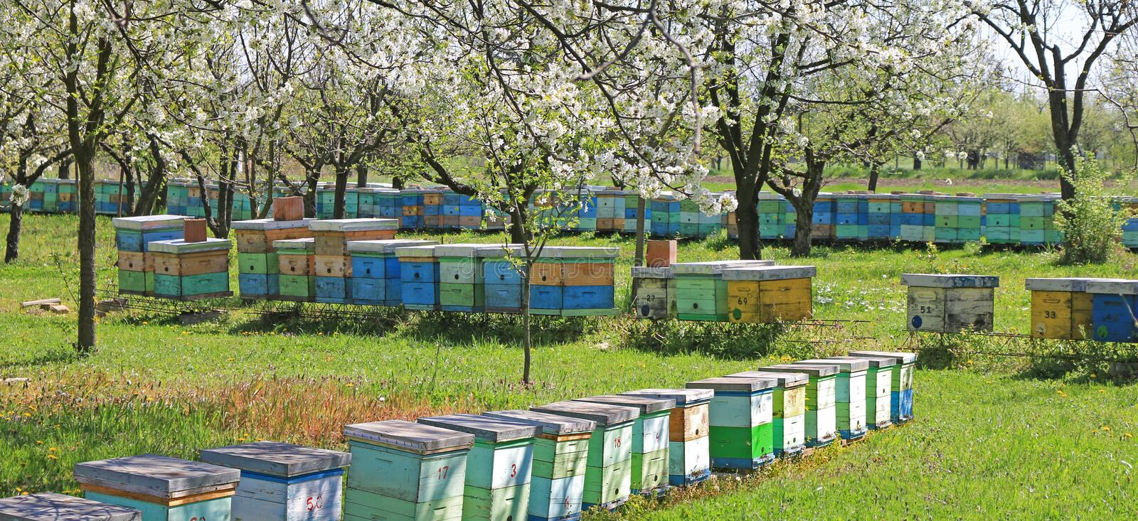 Beekeeping, bees and hives. Beekeeping, beehives in the blooming cherry orchard stock photo