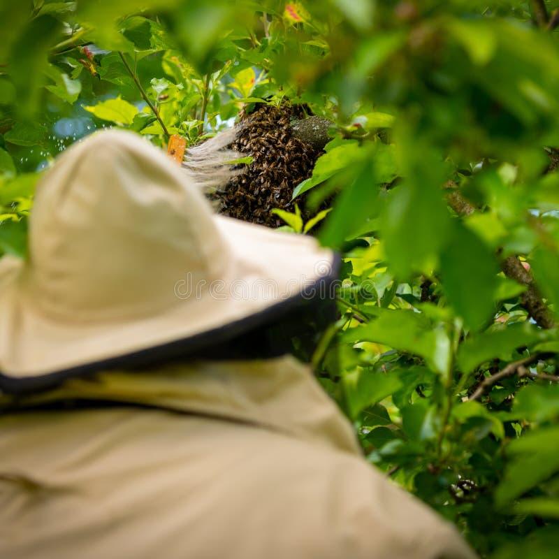 beekeeping Der Imker, der entgangene Bienen sammelt, schwärmen von einem Baum Bienenhaushintergrund stockfoto