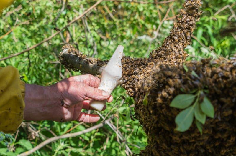 beekeeping Entgangene Bienen schwärmen Verschachtelung auf einem Baum stockfotos