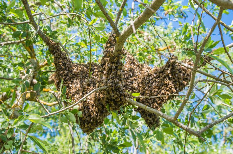 Beekeeping. Escaped bees swarm nesting on a tree royalty free stock photo