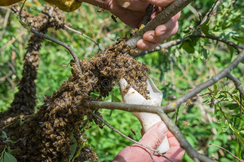 Beekeeping. Escaped bees swarm nesting on a tree stock photo