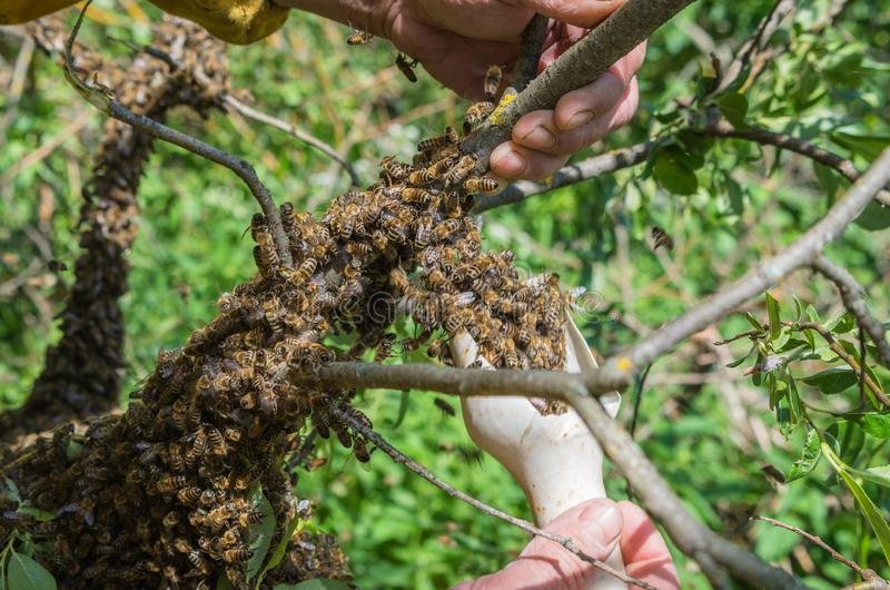 Beekeeping. Escaped bees swarm nesting on a tree stock image