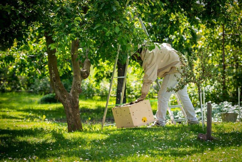 beekeeping Pszczelarek kolekcjonowanie ucieka? pszczo?y mrowi? si? od drzewa Pasieki t?o fotografia royalty free