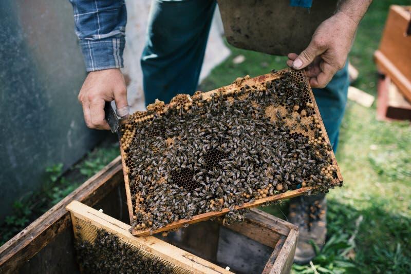 Beekeper werkt met honingraten wat volledig door bijen wordt behandeld Detail op apiaristhanden royalty-vrije stock fotografie