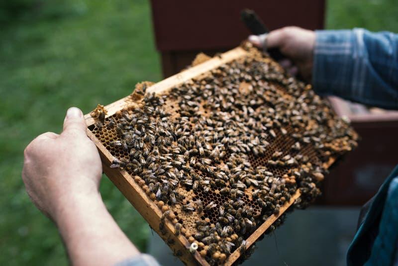 Beekeper werkt met honingraten wat volledig door bijen wordt behandeld Detail op apiaristÃÆ'¡ Ã'à 'handen stock foto