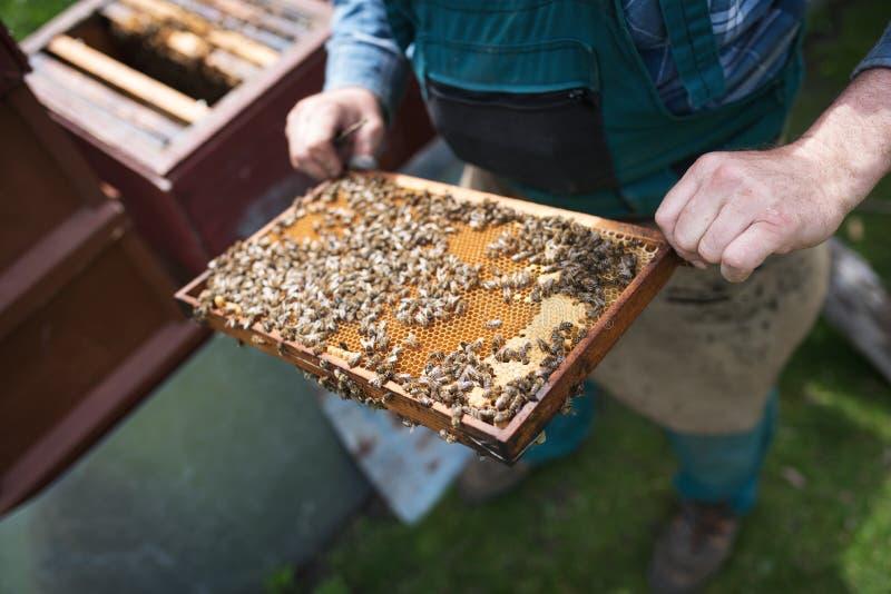 Beekeper werkt met honingraten wat volledig door bijen wordt behandeld Detail op apiarist royalty-vrije stock foto's