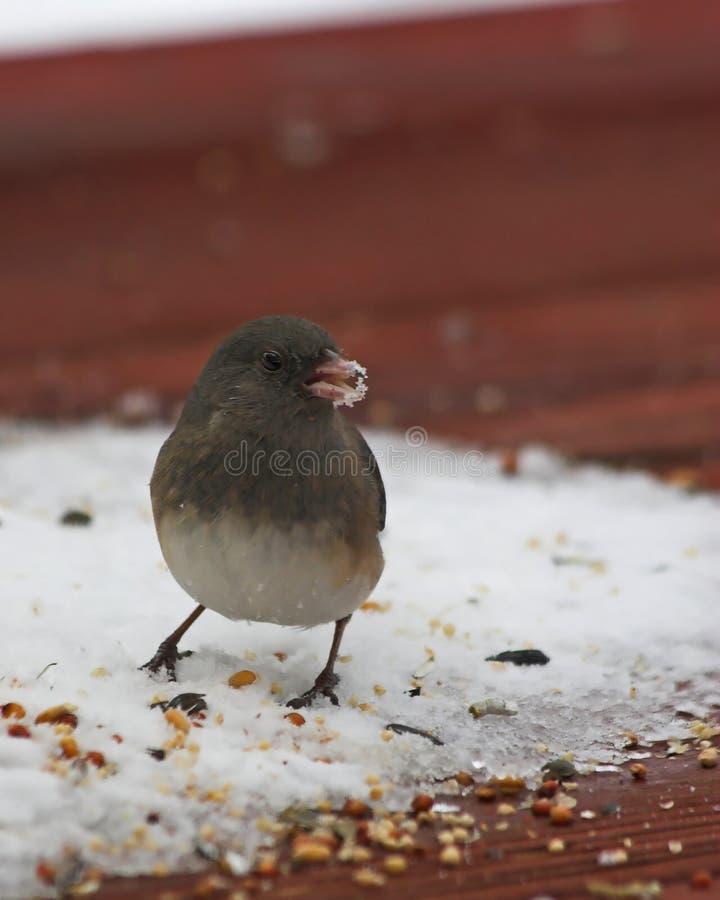 Download Beekfågelsnow arkivfoto. Bild av budgie, watching, hoppas - 522018