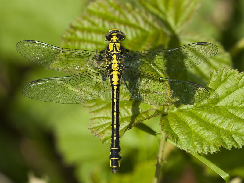 Beekrombout, Clubtail commun, vulgatissimus de Gomphus photo stock