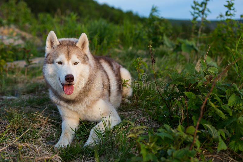 Beeld die van vrije en prideful beige en witte Siberische Schor hond op de heuvel in het groene gras bij zonsondergang liggen stock foto