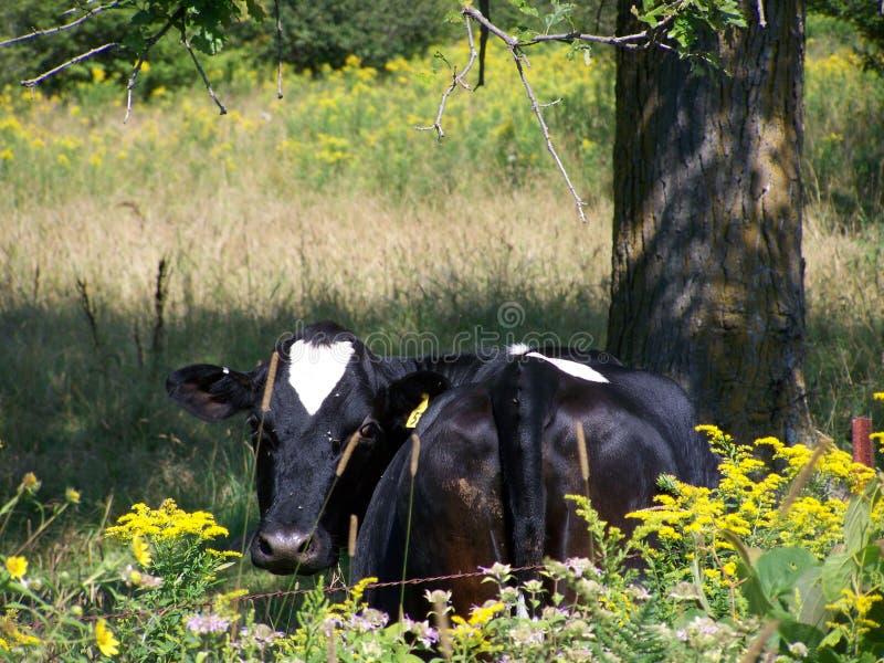 Beeld perfect Holstein stock fotografie