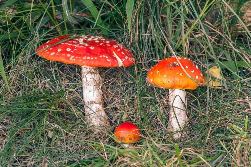 Beeld van amaniet op grasachtergrond stock foto