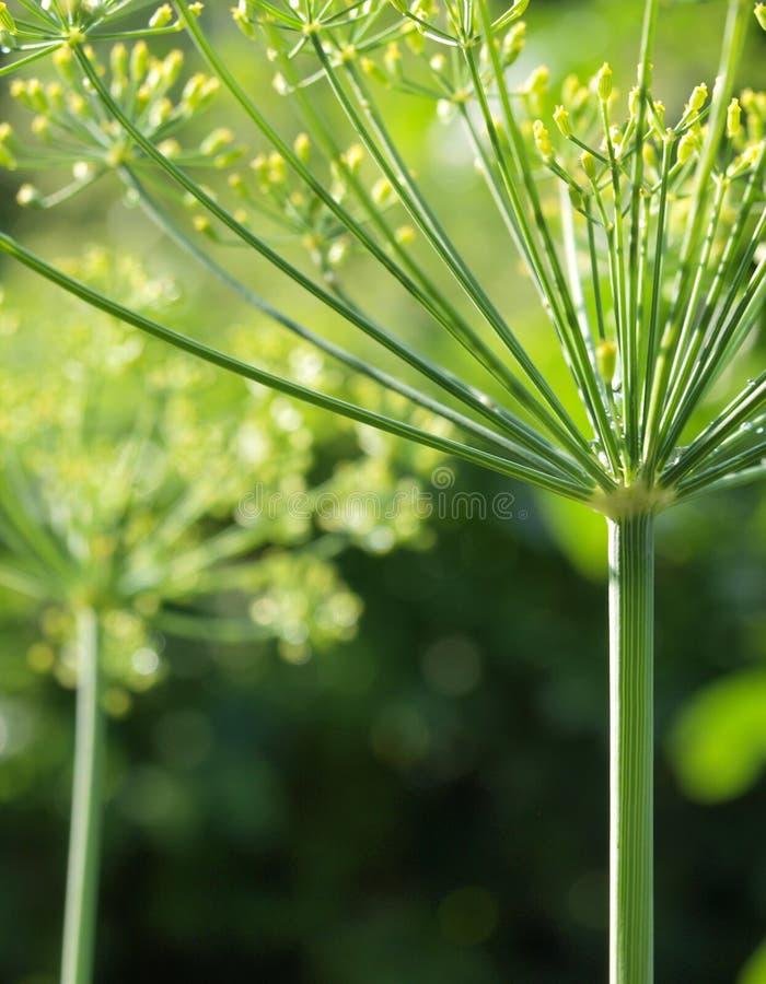 Beeld van aromatische bloem van dille of venkel royalty-vrije stock fotografie