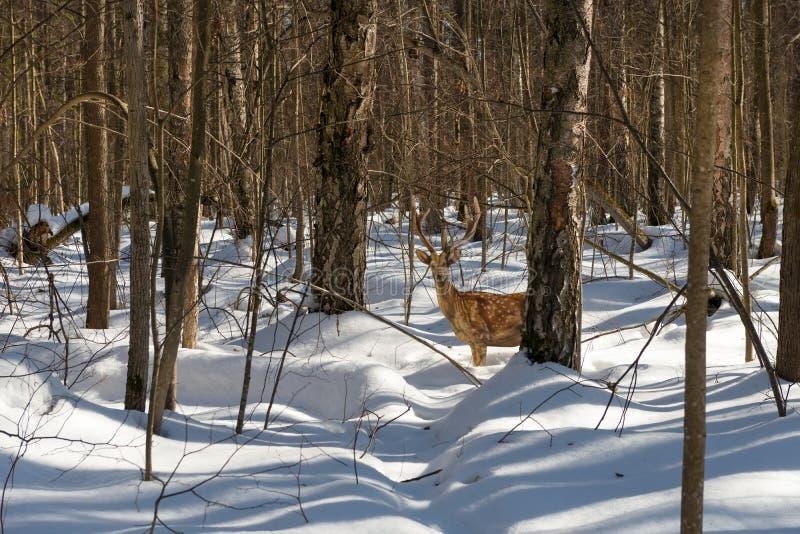 : Beeld van bevlekte herten in het de winterbos stock afbeeldingen