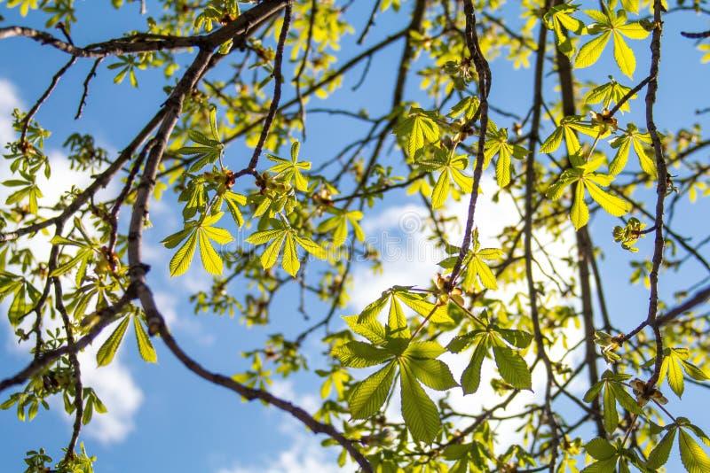 Beeld van boom van de de lente de bloeiende kastanje, droge takken met knoppen van kastanjebladeren en schors van bomen tegen de  royalty-vrije stock foto's