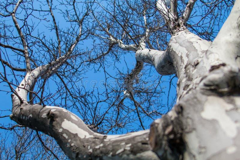 Beeld van boom van de de lente de bloeiende kastanje, droge takken met knoppen van kastanjebladeren en schors van bomen tegen de  stock afbeeldingen