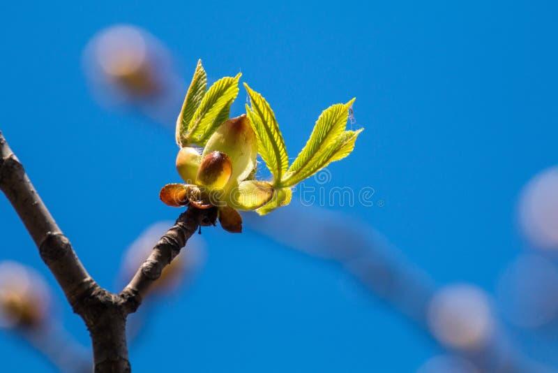 Beeld van boom van de de lente de bloeiende kastanje, droge takken met knoppen van kastanjebladeren en schors van bomen tegen de  royalty-vrije stock foto