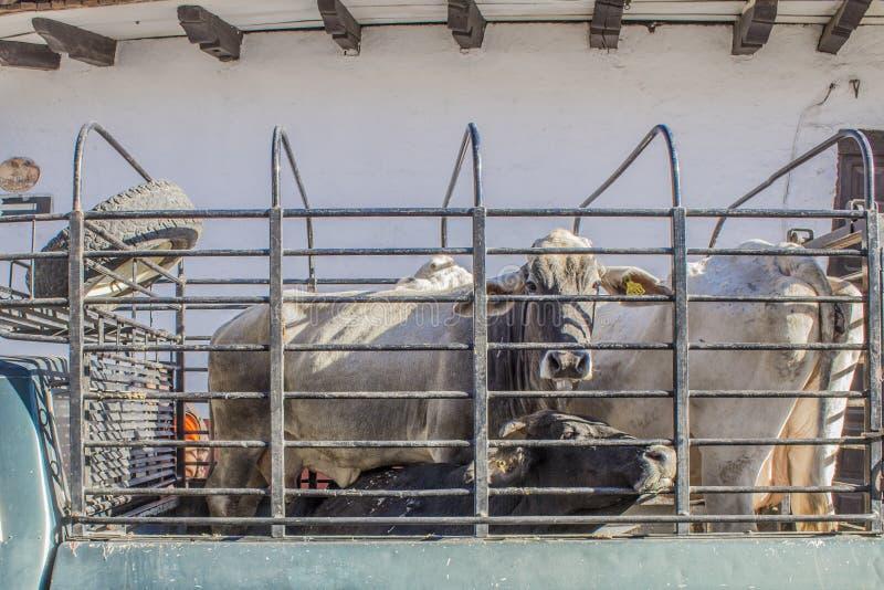 Beeld van brahman die koeien in een ladingsbestelwagen worden gesloten stock fotografie