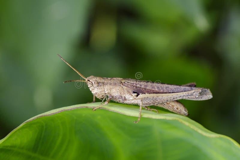 Beeld van bruine sprinkhaan op groene bladeren Insectdier stock fotografie