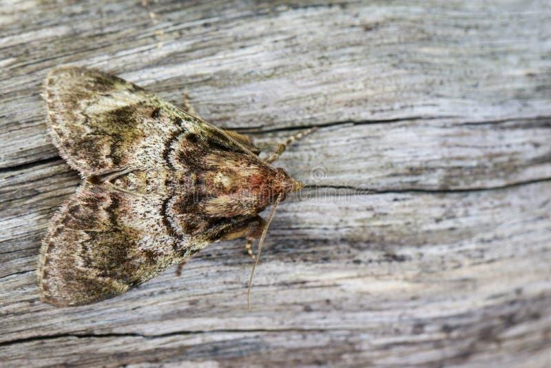 Beeld van Bruine tripartita van Mottennannoarctia op boom insect stock afbeeldingen