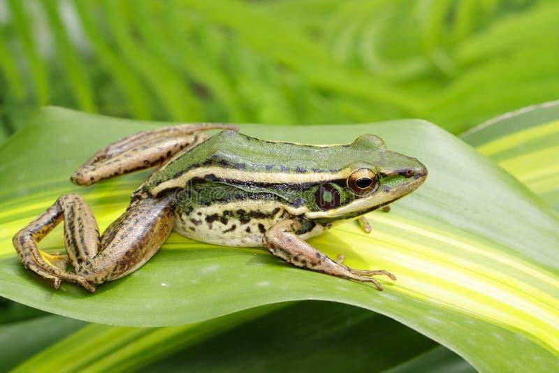 Beeld van de groene kikker van het padiegebied of Groene Paddy Frog Rana-erythraea op het groene blad amfibie Dier stock foto's