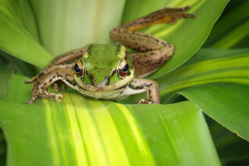 Beeld van de groene kikker van het padiegebied of Groene Paddy Frog Rana-erythraea op het groene blad amfibie Dier stock afbeeldingen
