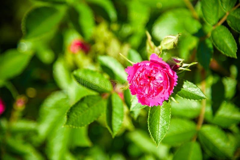 Beeld van een gemakkelijke rode Rosa nutkanabloem die bloeit en mooi met bloeiende bloemblaadjes is de beelden kunnen als achterg royalty-vrije stock afbeelding