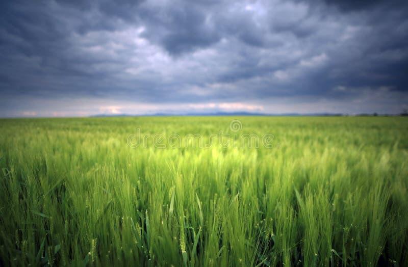 Beeld van een groen tarwegebied met stormachtige wolkenachtergrond royalty-vrije stock afbeelding