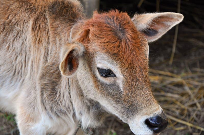 Beeld van een jonge koe met kleurrijk haar in een dorp in het ochtend weidende gras stock afbeeldingen