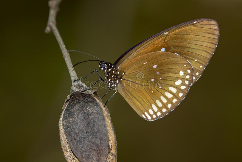 Beeld van een vlinder Gemeenschappelijke Indische Kraai op aardachtergrond royalty-vrije stock foto's