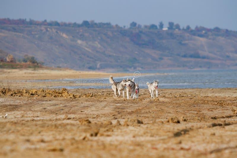 Beeld van gelukkige en grappige grijze en witte Siberische Schor hond die op het strand bij kust lopen royalty-vrije stock afbeelding