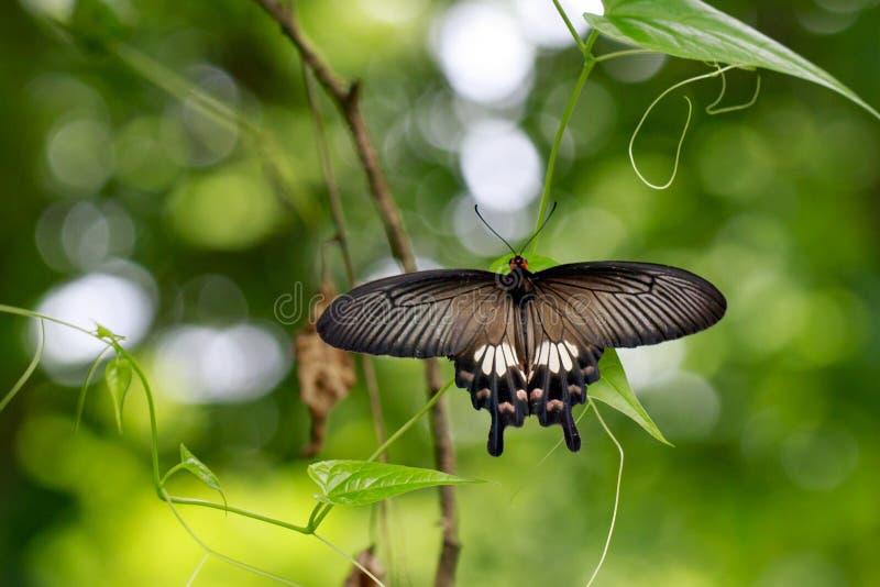 Beeld van Gemeenschappelijke Mormoonse romulus van vlinderpapilio polytes royalty-vrije stock fotografie