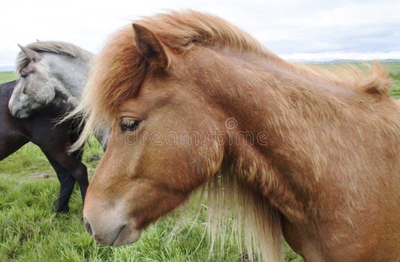 Beeld van Ijslandse paarden royalty-vrije stock afbeelding