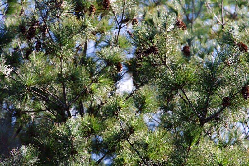 Beeld van Japanse rode pijnboom stock foto's