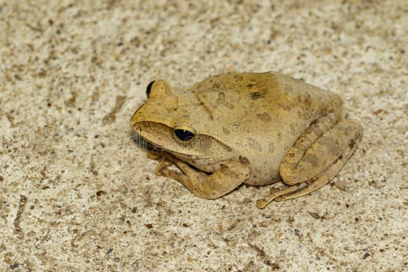 Beeld van Kikker, Polypedates leucomystax, polypedates maculatus op betegelde vloer amfibie Dier stock foto