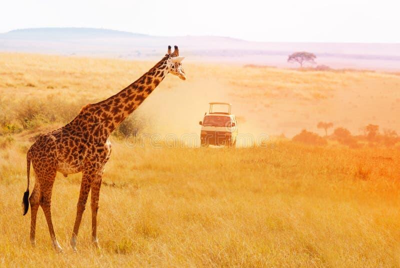 Beeld van mooie giraf bij zonsondergang, Afrika royalty-vrije stock foto's