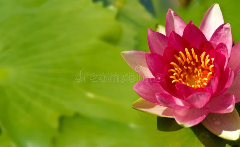 Beeld van mooie Lotus-bloem in waterclose-up royalty-vrije stock afbeeldingen