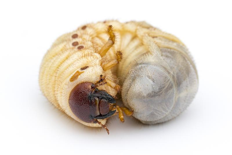 Beeld van rupswormen, de kever van de Kokosnotenrinoceros stock afbeelding