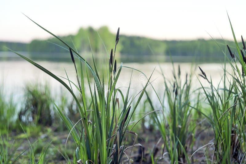 Beeld van sommige mooie groene cattails langs de kust van vrij blauw meer stock fotografie
