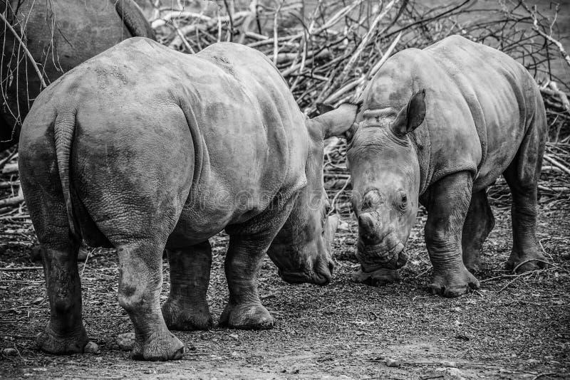 Beeld van twee witte Rinocerossen in de wildernis stock afbeeldingen