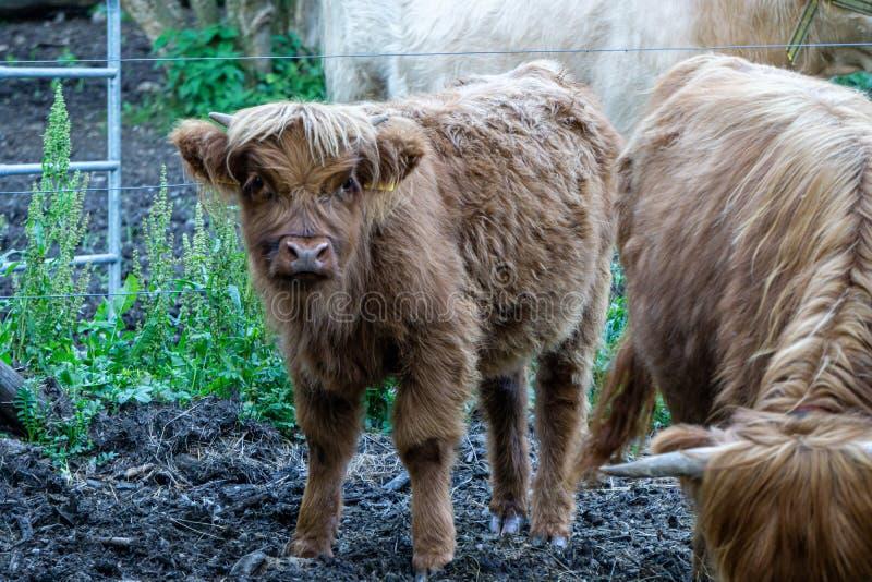 Beeld van vee van het Kalfs het Schotse Hoogland bij het Weiland van de landbouwer stock afbeelding