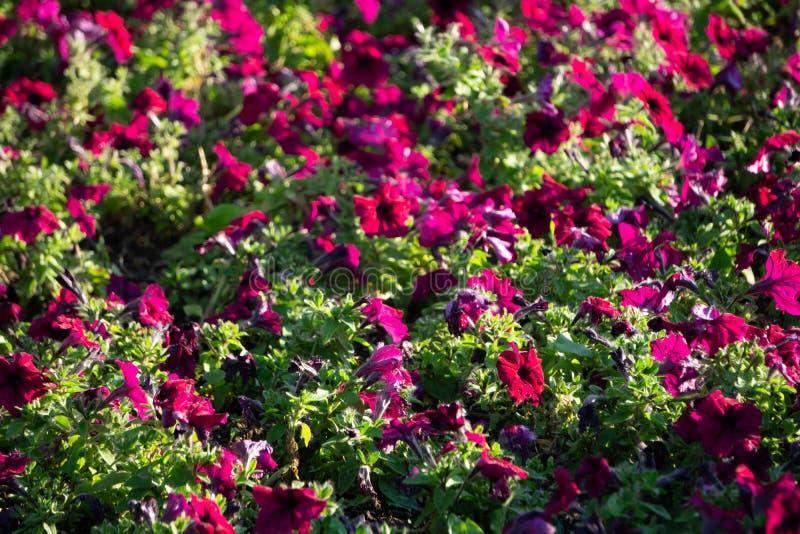 Beeldhoogtepunt van kleurrijke hybridabloemen van de petuniapetunia stock foto