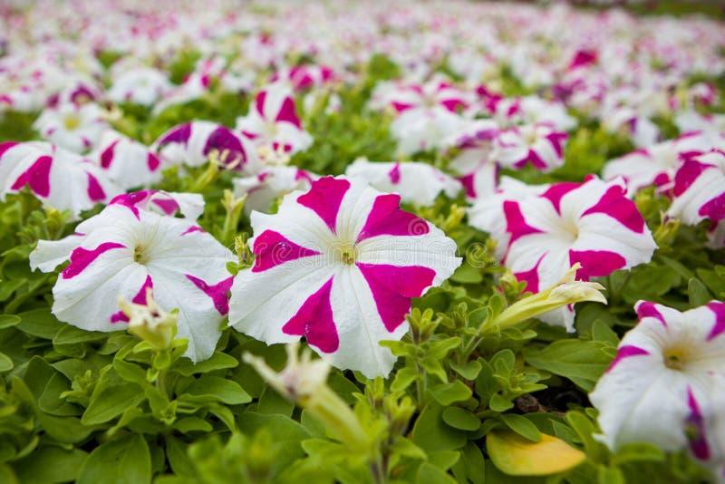 Beeldhoogtepunt van kleurrijke hybridabloemen van de petuniapetunia stock afbeeldingen