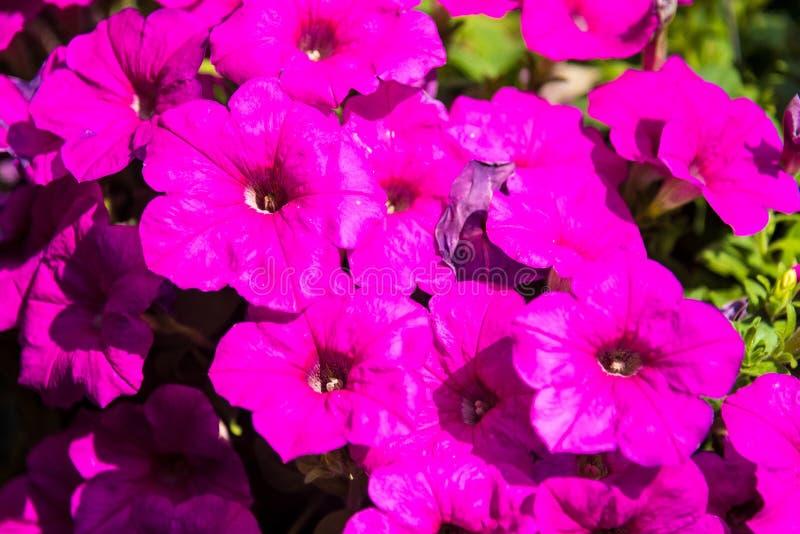 Beeldhoogtepunt van kleurrijke petunia & x28; Petunia hybrida& x29; bloemen stock afbeelding