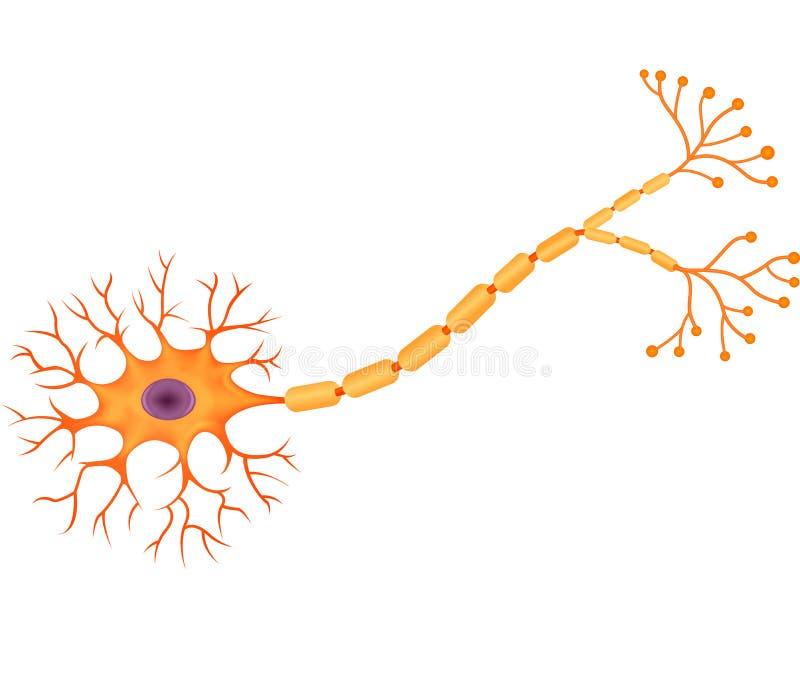 Beeldverhaalillustratie van Menselijke Neuronenanatomie royalty-vrije illustratie