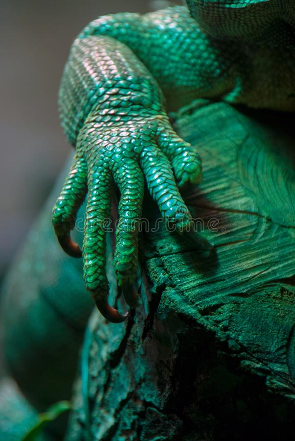 Been van een groene leguan leguaan die grote klauwen tonen royalty-vrije stock fotografie
