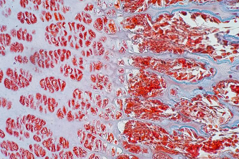 Been van het dwarsdoorsnede het menselijke kraakbeen onder microscoopmening voor edu royalty-vrije stock afbeeldingen