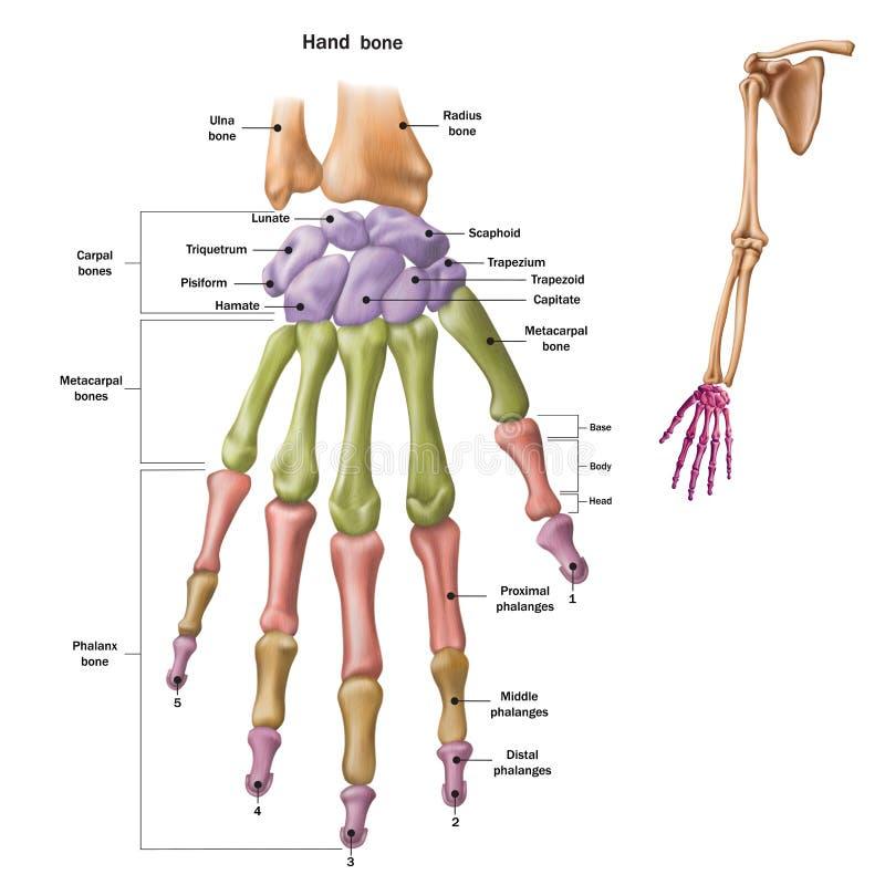 Beenderen van de menselijke hand met de naam en de beschrijving van alle plaatsen Menselijke anatomie royalty-vrije illustratie