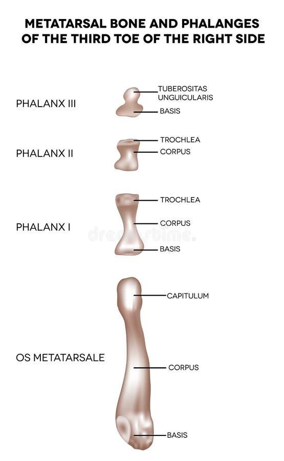 Beenderen van de voet vector illustratie