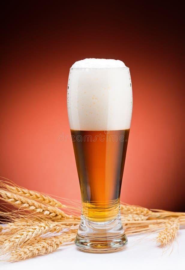 Beer and barley. Glass of beer and barley stock photo