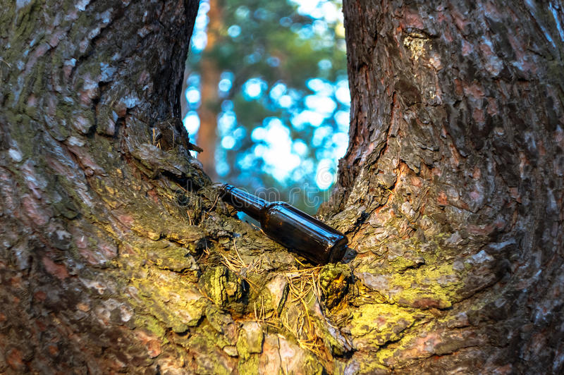 Beer bottle in a pine forest on a tree. A brown beer bottle in a pine forest on a tree. Destruction of nature, pollution of the environment stock photos